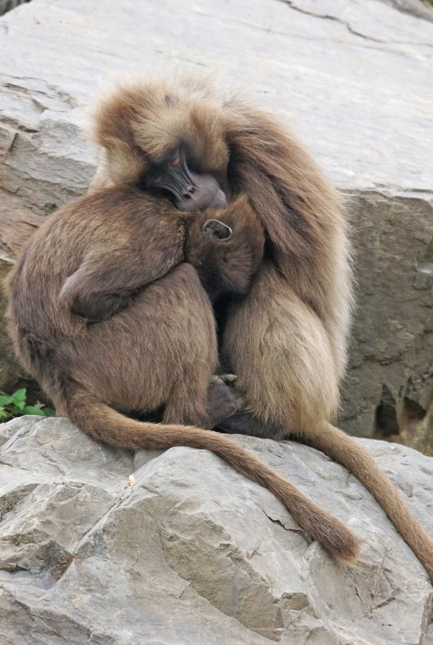 Gelada baboons warming each other.