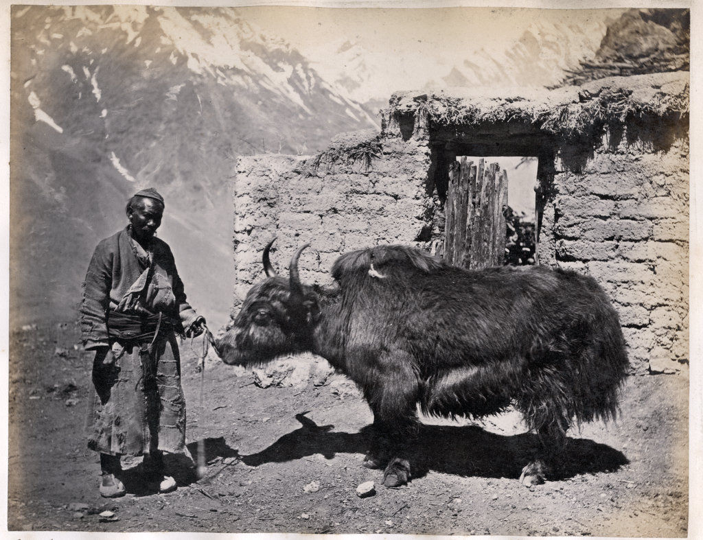Man with a Yak -  India c1870's