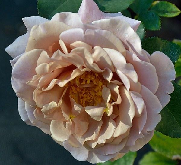 Koko Loko сорт розы фото Минск саженцы купить