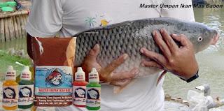 Master Umpan Ikan Mas Babon