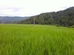 Keadaan Budidaya Pertanian di Desa Sungai Binuang