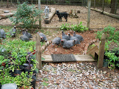 The guineas