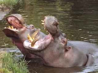 The name hippopotamus means river horse.