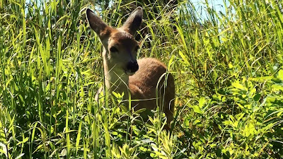 Fawn relaxes in tall grass