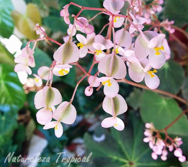 Flores de una planta begonia, género Begonia