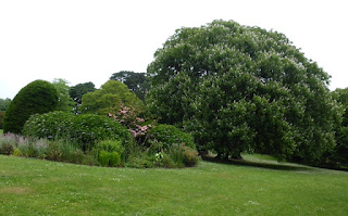 Indian Horse Chestnut in Clyne gardens