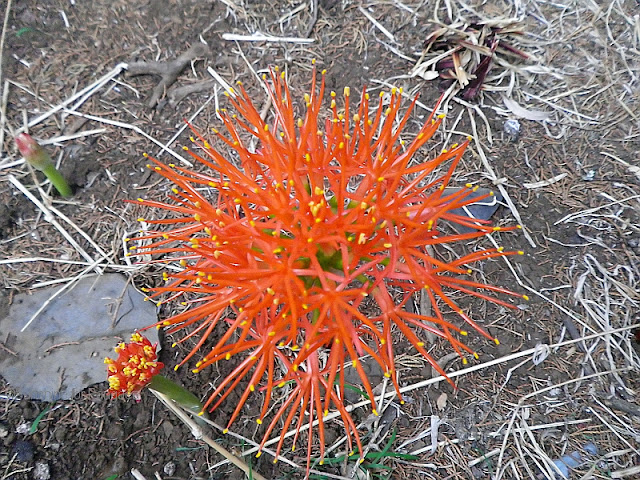 Fireball Lilly (Scadoxus multiflorus)