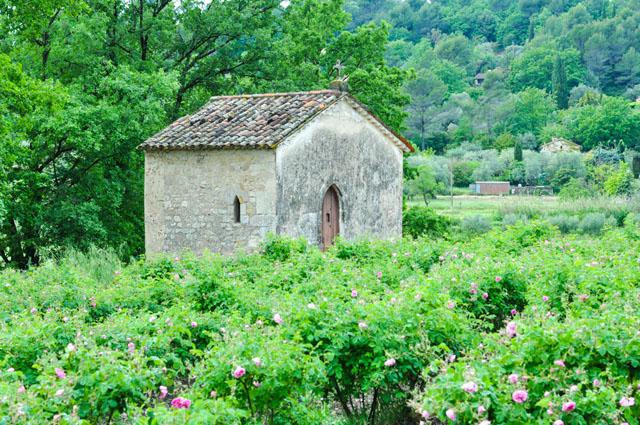 Rose Grasse France