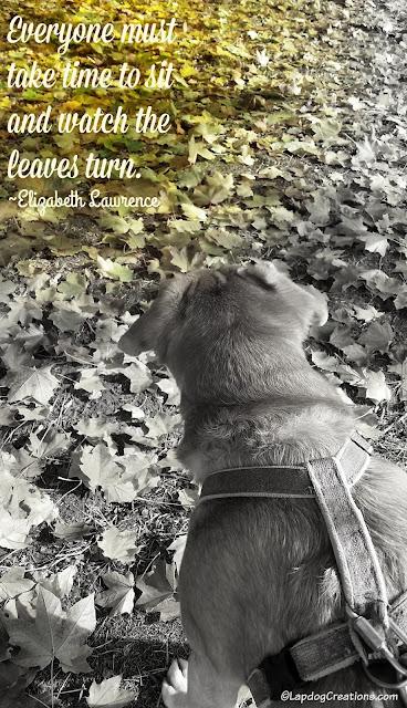 senior hound dog watching the falling leaves