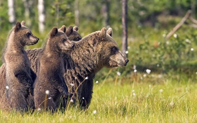 Foto met een moeder grizzlybeer en drie jongen