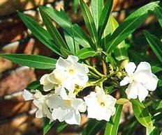 सफेद कनेर का पौधा