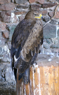 Aigle ravisseur - Aquila rapax