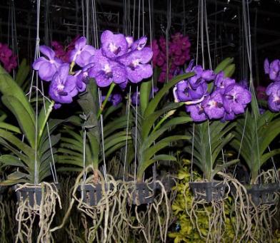 Cara Merawat Bunga Anggrek Gantung Dengan Benar Jangan Sampai Jadi