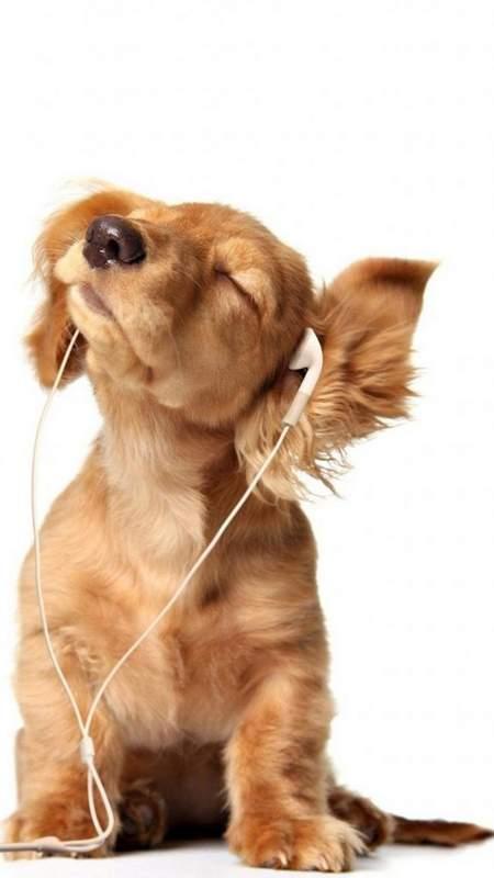 Hình nền mở khóa điện thoại chú chó Puppy nghe nhạc đáng yêu hài hước