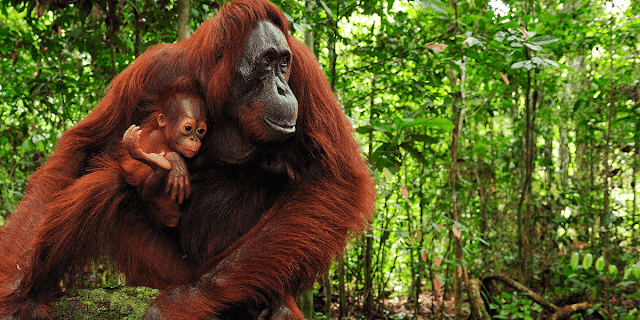Imagen de orangutanes de Rainforest Action Network