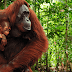 Orangutan Asks a Girl For Help in Sign Language