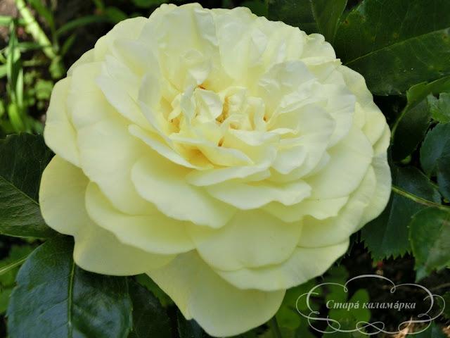 роза Solero , розарий, сочетания роз, розы фото, розы в саду, цветники с розами