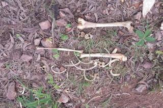 http://vnoticia.com.br/noticia/1770-ossada-humana-encontrada-na-estrada-do-limao-em-cajueiro-sfi