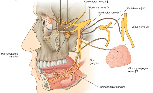 2 頭頸部諸副交感神經之神經節當中解剖位置最後(posterior)者為 ...