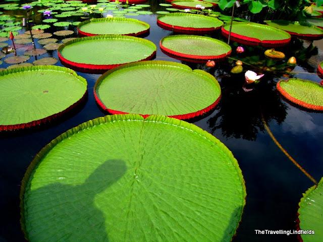 Water-platter lilies, Longwood Gardens