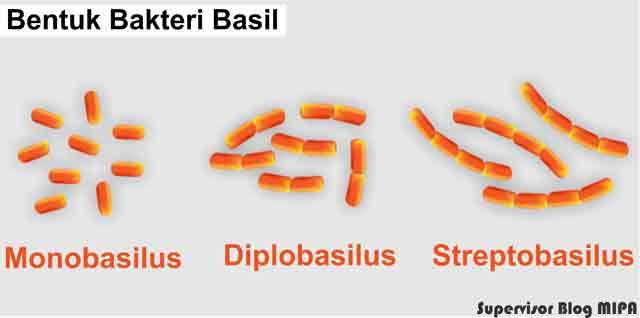 gambar macam-macam bentuk bakteri basil (batang): monobasil, diplobasil dan streptobasil