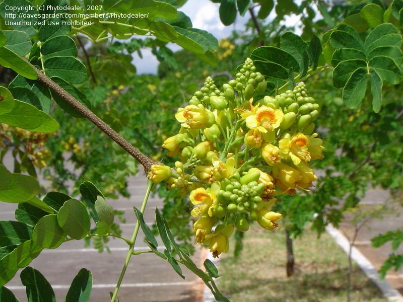 Juc caesalpinia ferrea natureza bela - Caesalpinia gilliesii cultivo ...