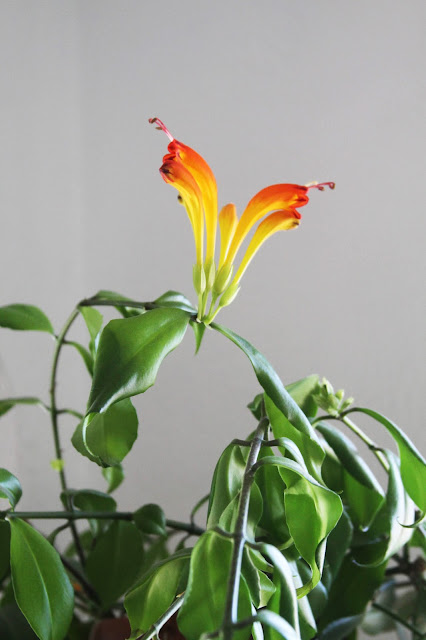 lipstick plant, houseplants, flowering houseplants, indoor garden, Aeschynanthus, Anne Butera, My Giant Strawberry