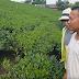 Thái Nguyên: Người dân Đại Từ nói gì về thông tin chè tẩm hóa chất?