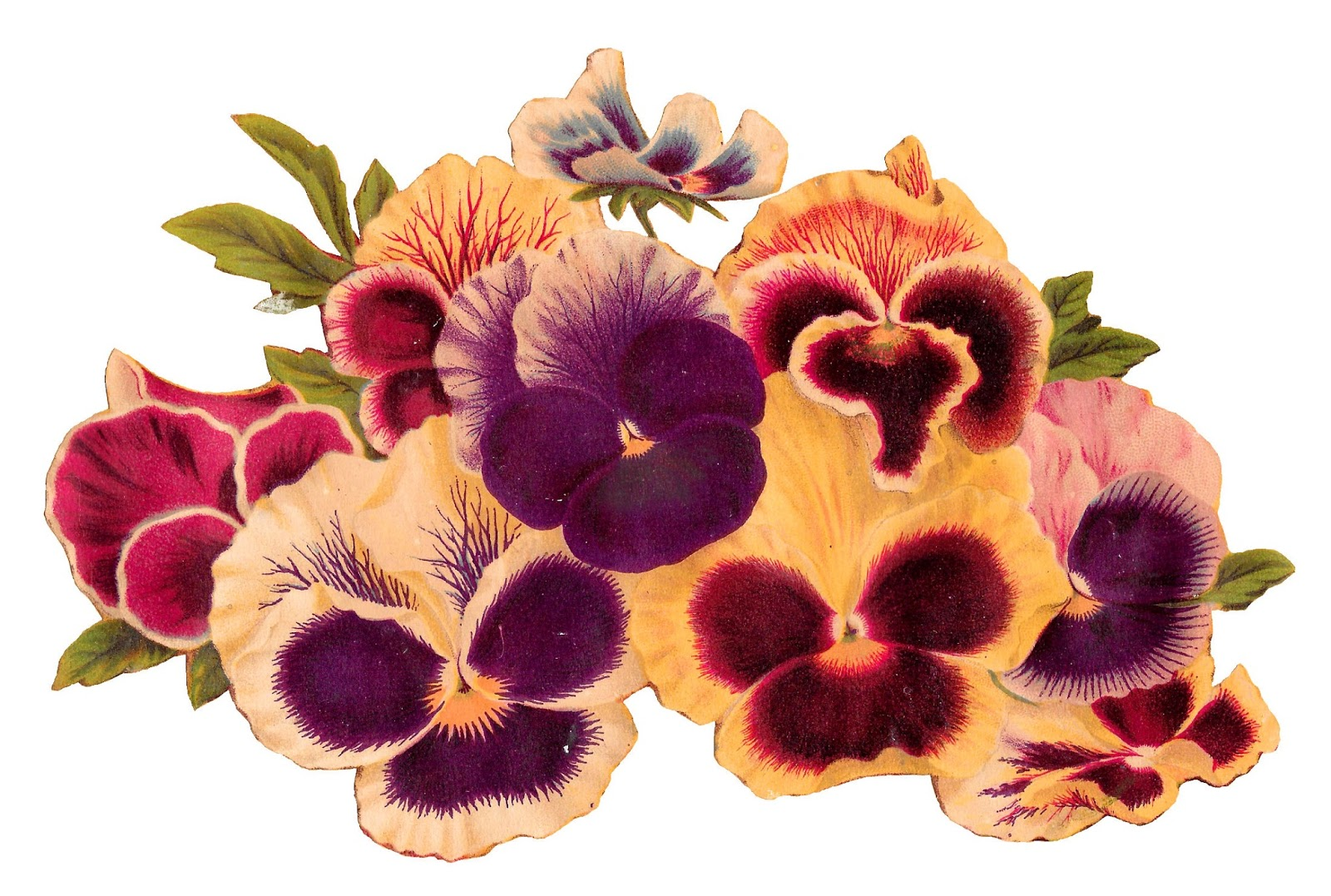 Flowers pansy botanical artwork image clipart illustration transfer