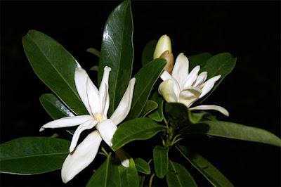 จำลา ไม้ดอกหอมพื้นเมืองของไทย วงศ์จำปี ดอกสีขาวสวยงาม กลิ่นหอมหวาน