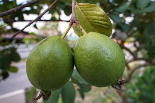 Health Benefits Of Eating Guava As It Is Very Rich In Vitamin A And C And Other Nutrients