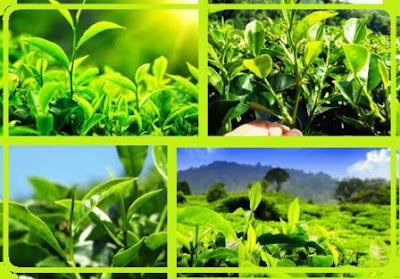 daftar alamat produsen dan supplier green tea kering di Bandung