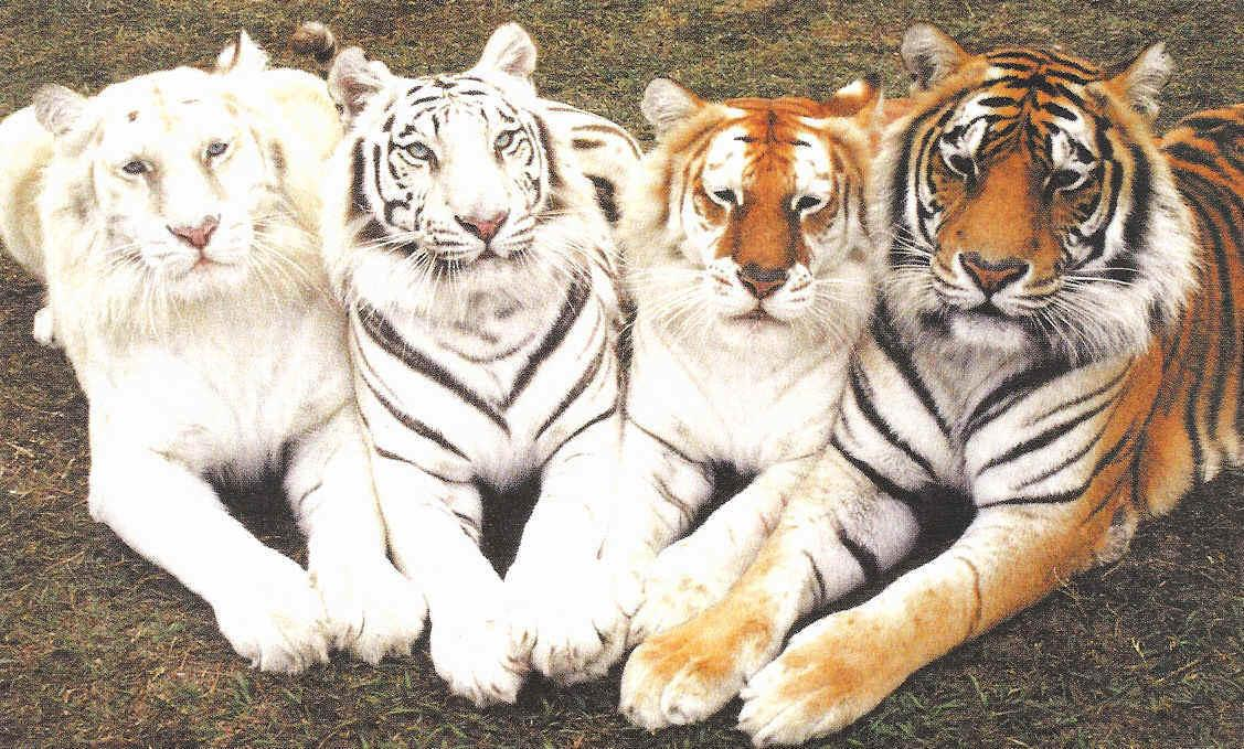 Four tigers. Pose: albino, white, Golden and Bengal.