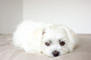 Cara Melatih Anjing Shih Tzu Yang Baik dan Benar