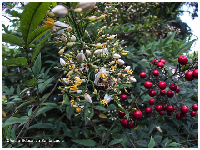 Planta Nandina - Chacra Educativa Santa Lucía. Foto: Marcos