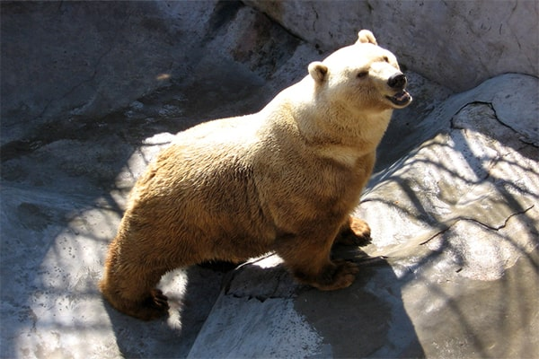 интересные факты о буром медведе гризли и белый медведь