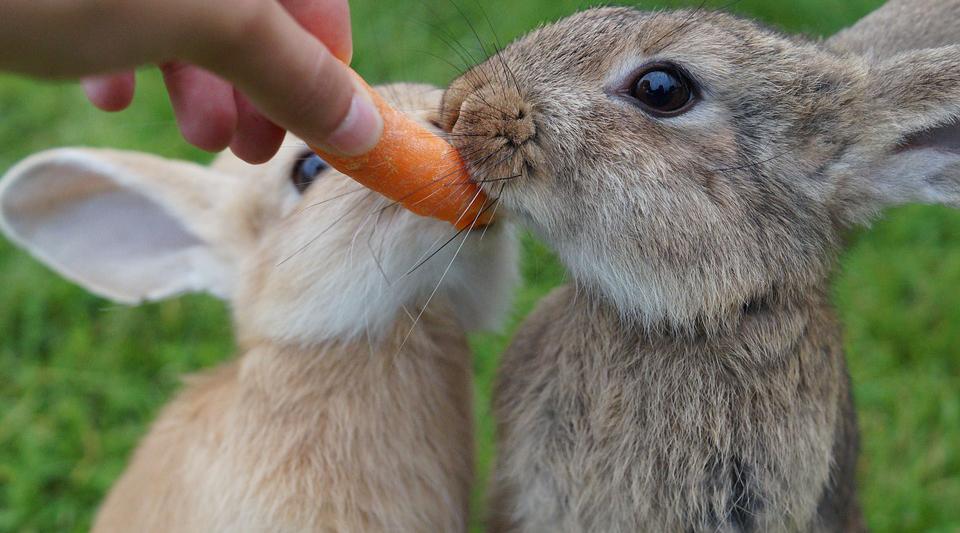 gambar kelinci pedaging gambar kelinci peliharaan makan wortel