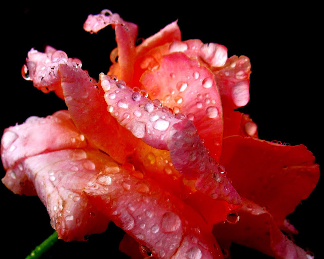 Raindrop Pink Rose photo