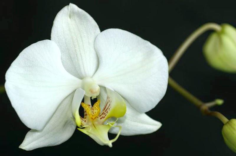 Macam Macam Bunga Nasional Indonesia - Bunga Anggrek Bulan