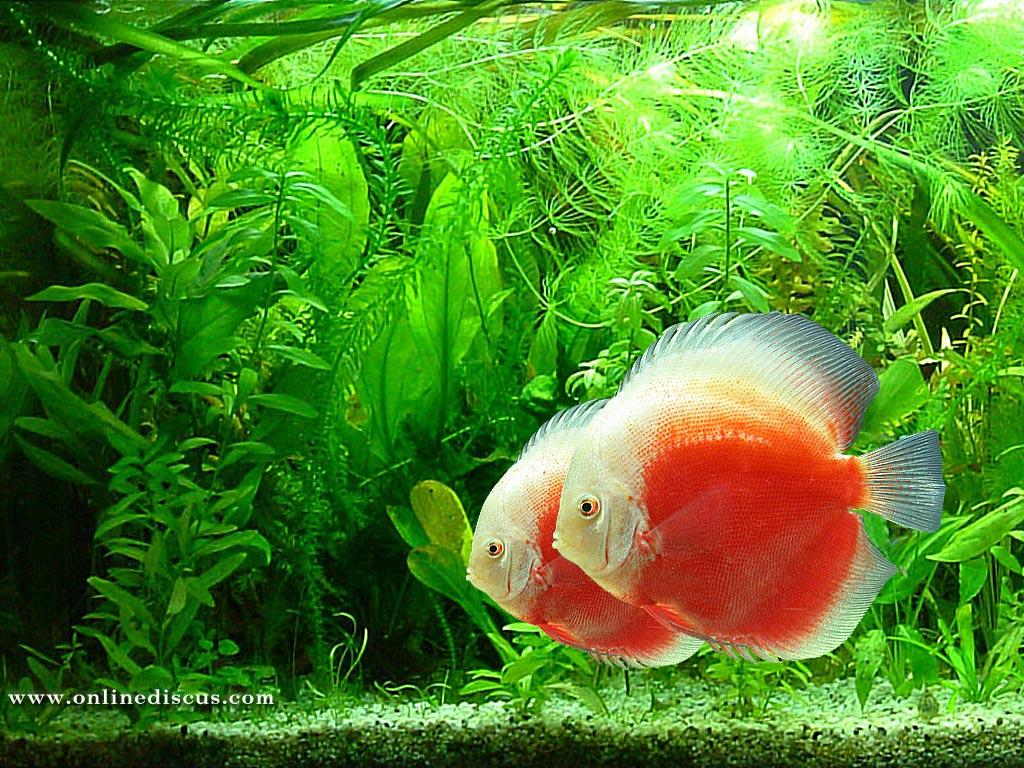 WPer Wallpaper Beautiful Fish Wallpaper HD Desktop Background