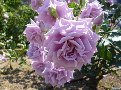 濃い紫の薔薇