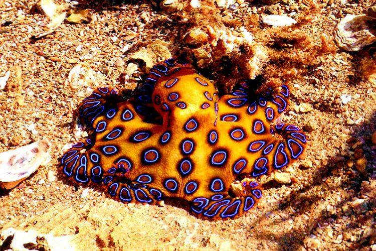 Mavi Halkalı Ahtapot, Pasifik Okyanusu'nda yaşamaktadır. Oldukça tehlikeli ve bir o kadar da zehirli bir ahtopot türüdür.