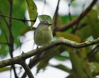 Burung Opior Kalimantan (Oculocincta squamifrons) adalah spesies burung di dalam keluarga besar Zosteropidae