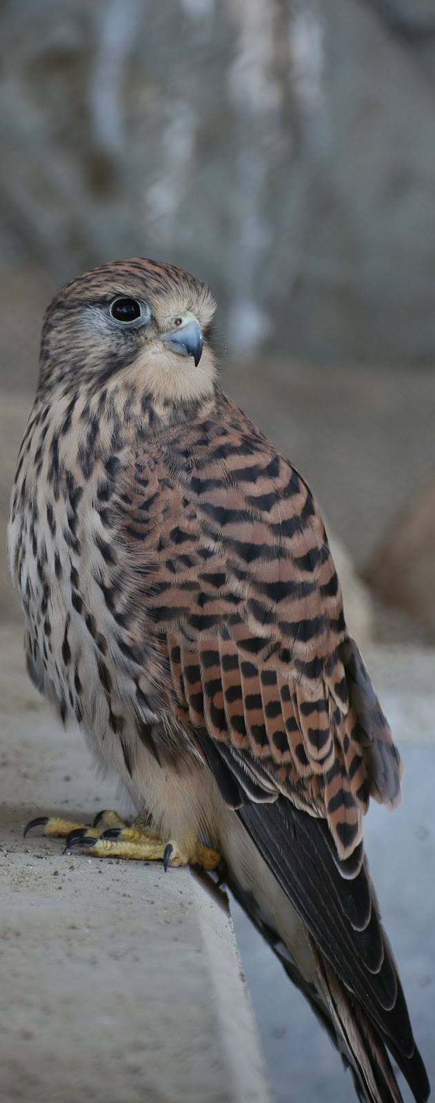 A kestrel bird up close.