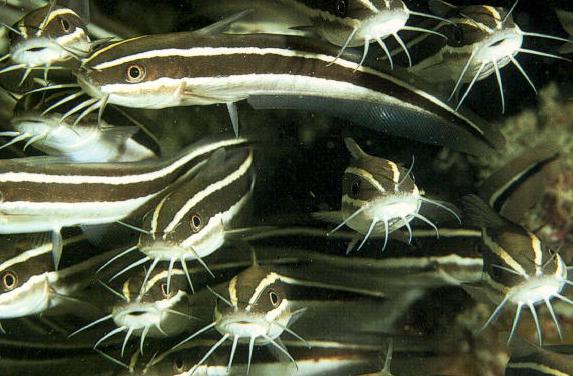 Συναγερμός στο Αιγαίο για το ψάρι με το θανατηφόρο άγγιγμα