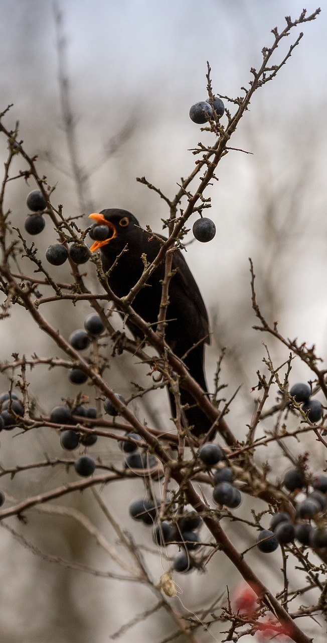 A black bird eating a berry.