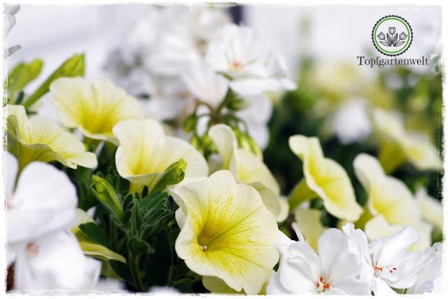 Gartenblog Topfgartenwelt Buchtipp Pflanzrezepte: gelbe Surfinien kombiniert mit weißen Pelargonien