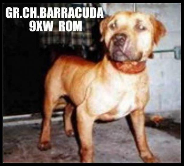 GR CH LATIN FORCE KENNEL'S BARRACUDA (9XW) ROM | SPORTING DOG NEWS