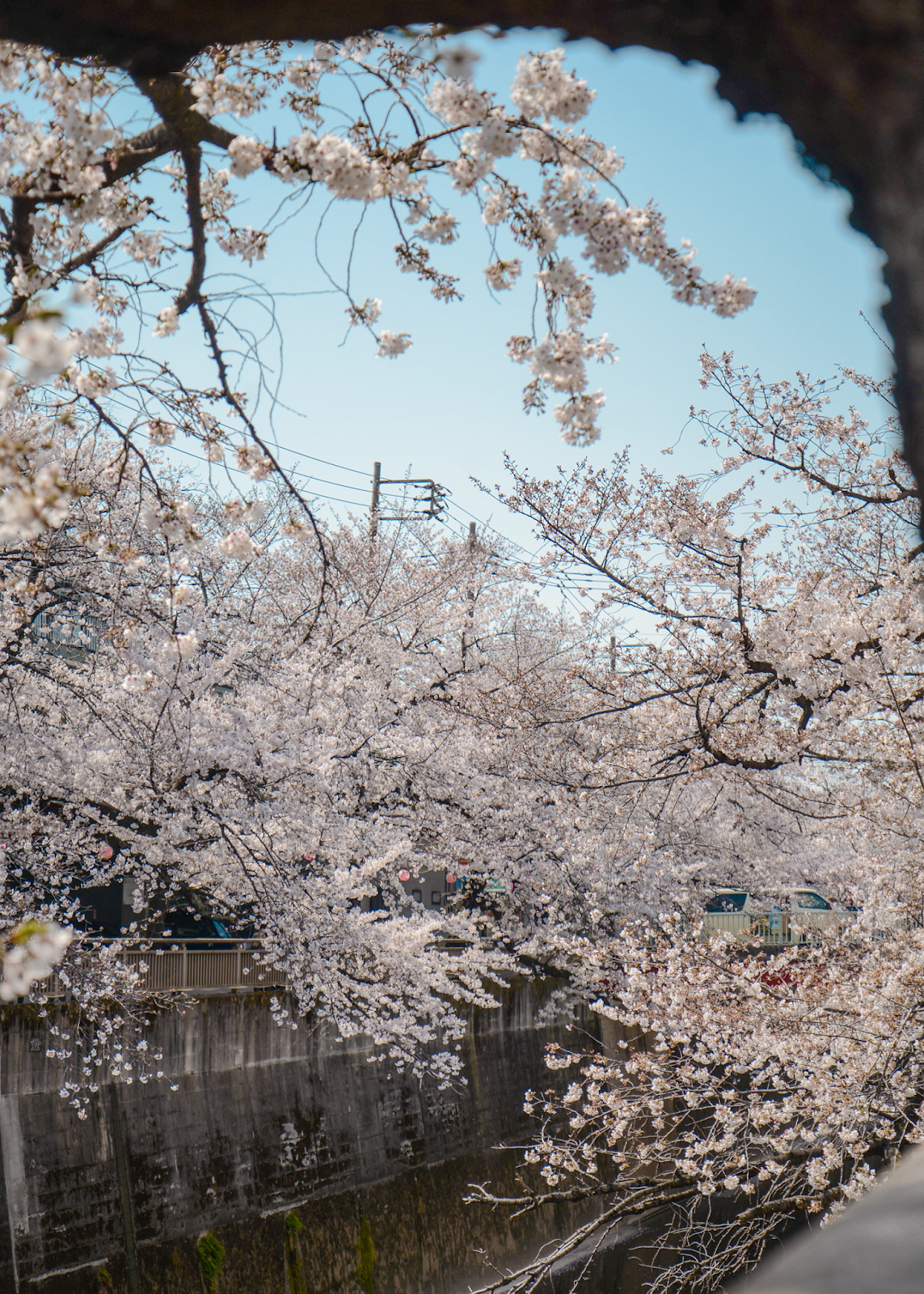 Local cherry blossom spot in Tokyo, quiet spots to view cherry blossom, Tokyo's Not So Secret Cherry Blossoms Spots That You Might Not Know Of - Style and Travel Blogger Van Le (FOREVERVANNY.com)