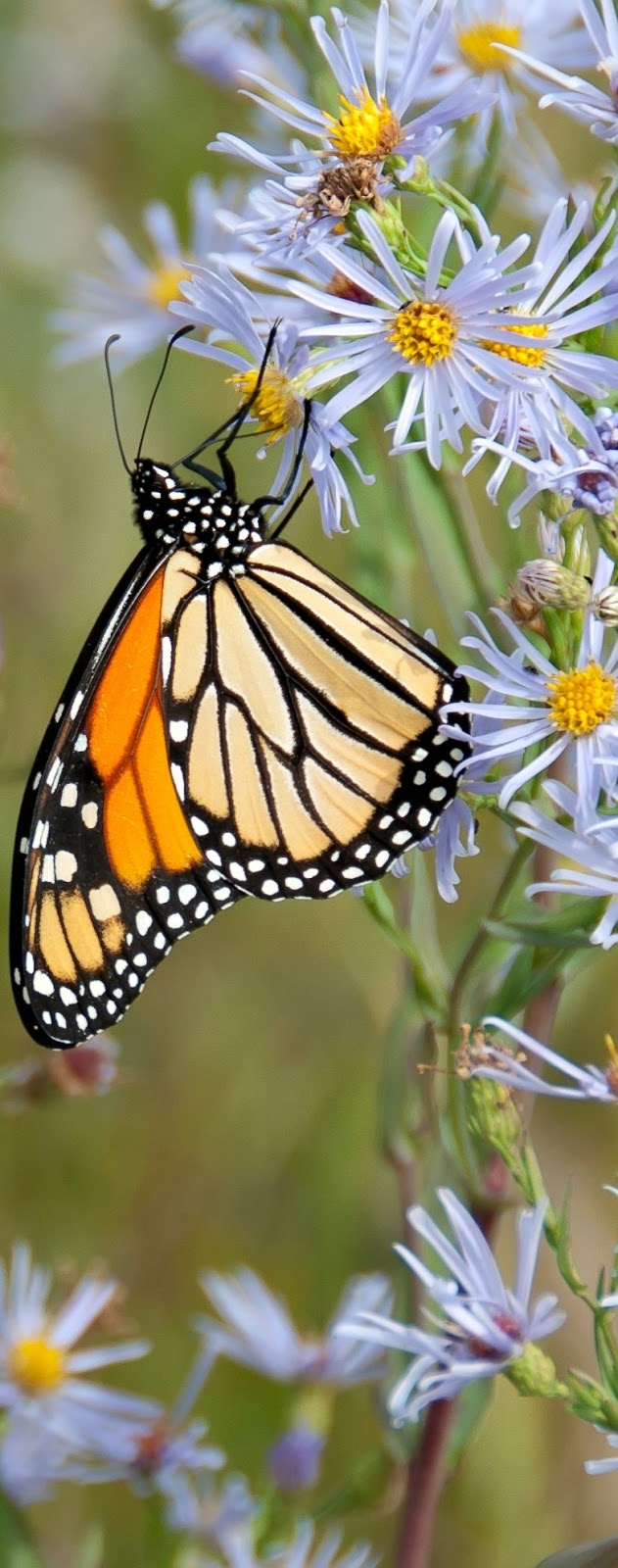 A monarch butterfly on white flower.
